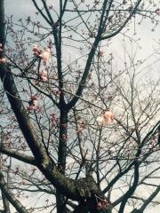 田口不動産 吹上 桜 2015