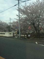 田口不動産 吹上 元荒川の桜