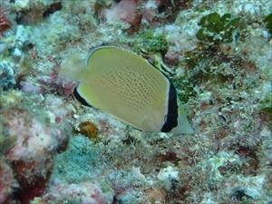 ゴマチョウチョウウオ幼魚