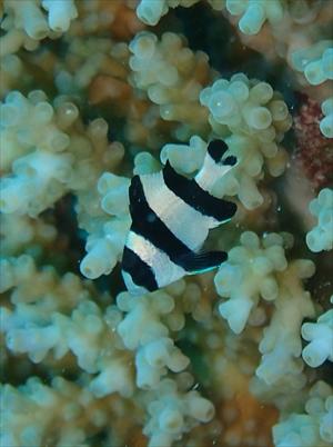 ヨスジリュウキュウスズメダイ幼魚
