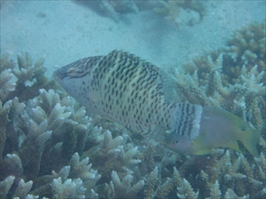 ナポレオン幼魚