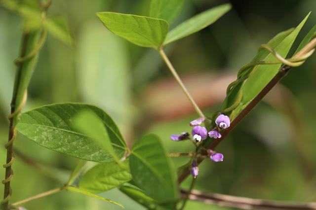 ツルマメ(蔓豆)
