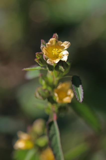 アメリカキンゴジカ(亜米利加金午時花)
