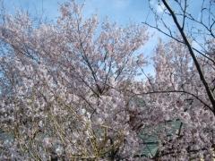 滝見・桜5