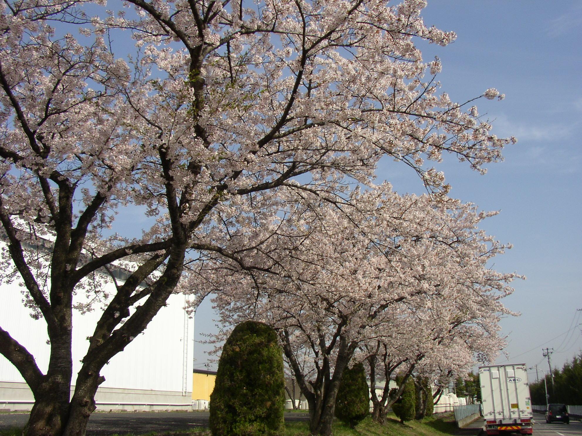 盛岡の桜というか近くの桜