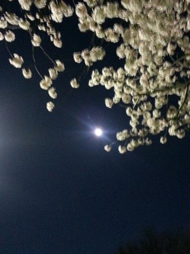 桜とお月さま?