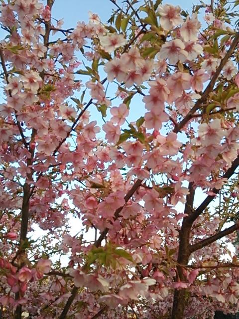 桜2015-02