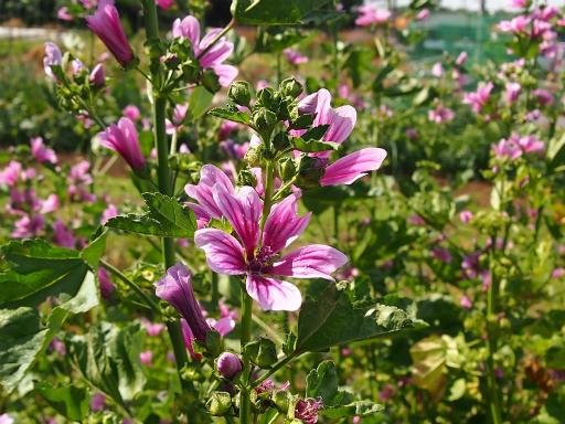 20150530・植物09・ゼニアオイ