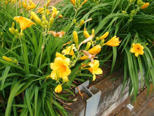 20150530・植物16・ヘメロカリス