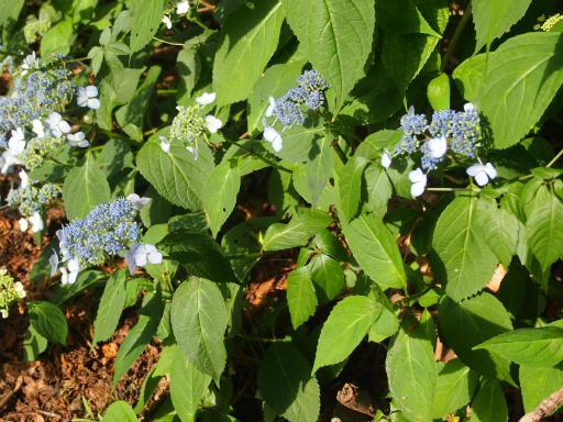 20150530・植物12・ガクアジサイ