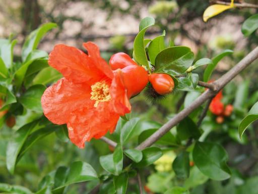 20150530・植物20・ザクロ