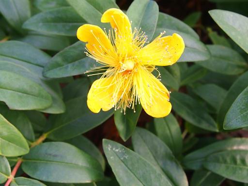 20150530・植物21・セイヨウキンシバイ