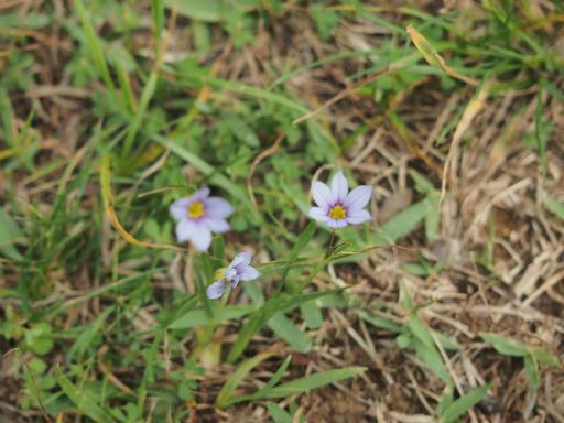 20150530・植物18・ニワゼキショウ