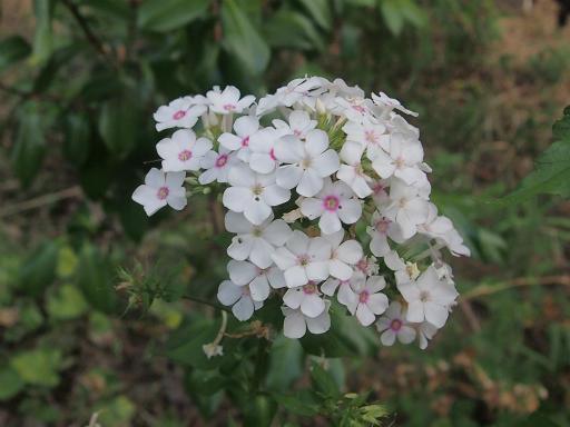20150810・荒幡富士植物05・クサキョウチョクトウ
