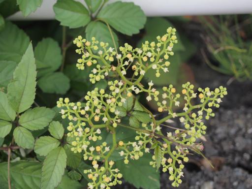 20150810・荒幡富士植物02・ヤブガラシ