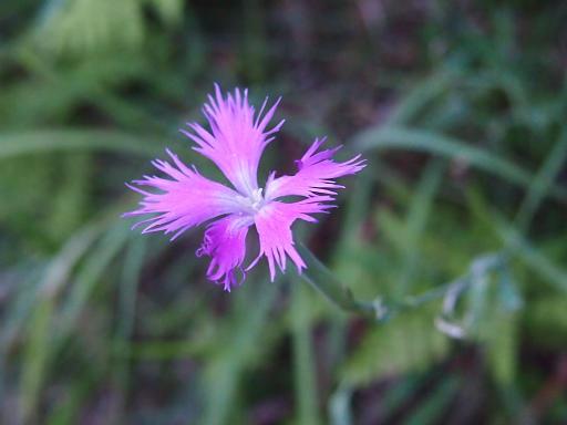 20150810・荒幡富士植物10・ナデシコ