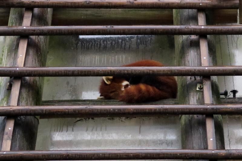雨が降る中、レッサーパンダは意外な場所に