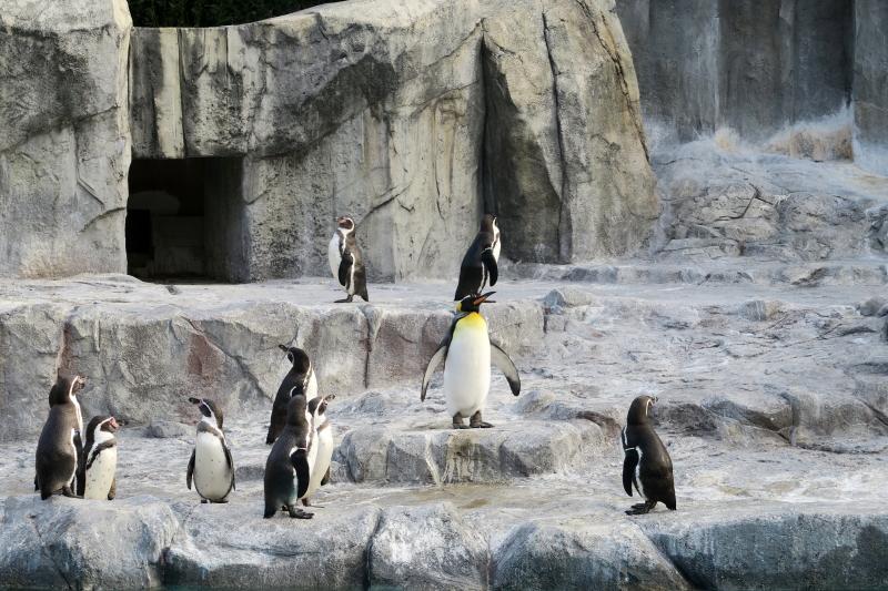今年もオウサマペンギンさん、登場