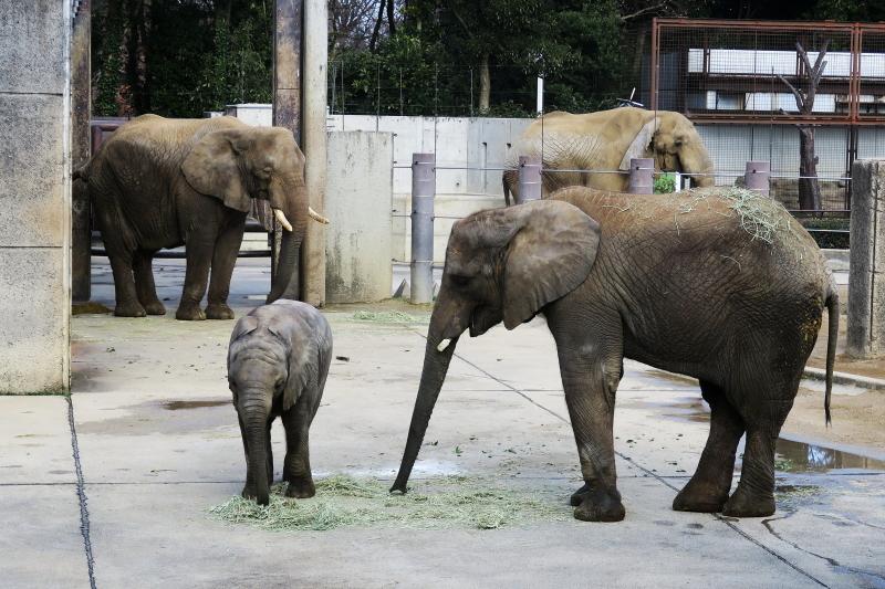 とべ動物園アフリカゾウファミリー