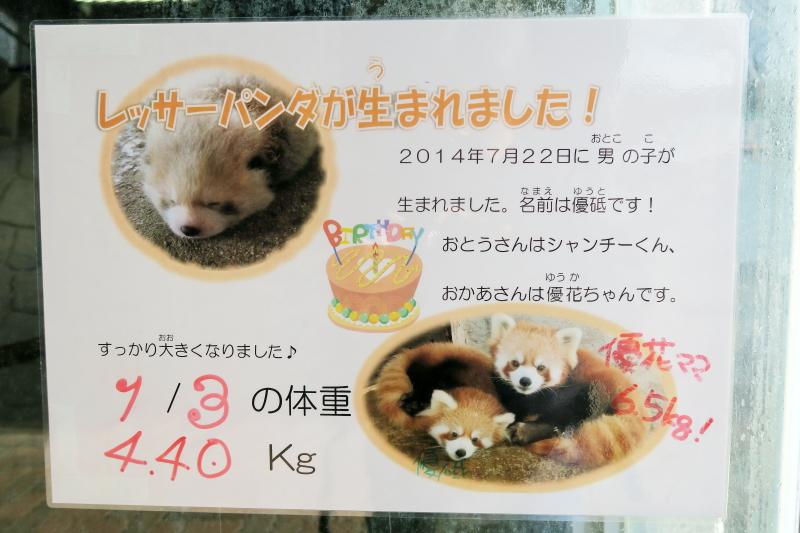 レッサーパンダの赤ちゃん優砥くんの1月3日の体重は、4.4kg