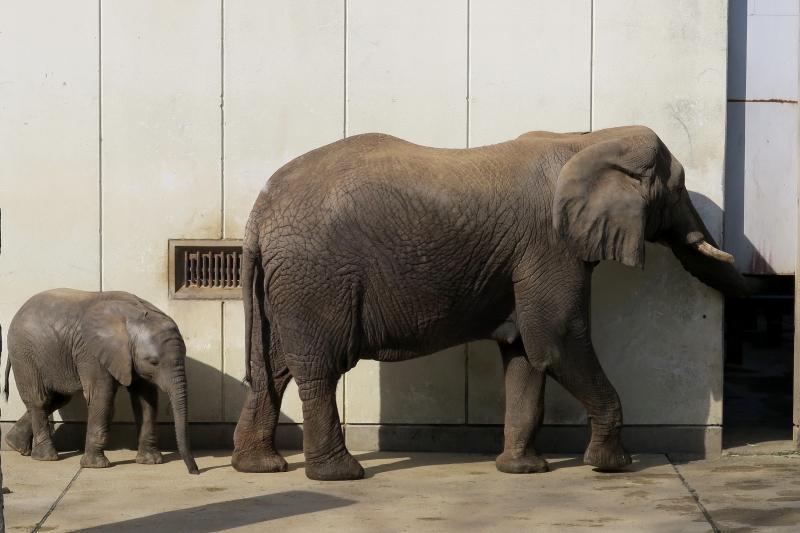 アフリカゾウの赤ちゃん、すくすく成長中