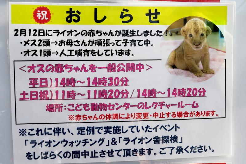 とべ動物園、ライオンの赤ちゃん、一般公開イベント