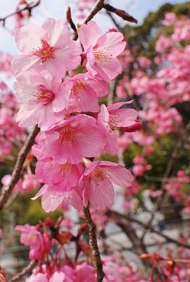 400観音山の桜150330