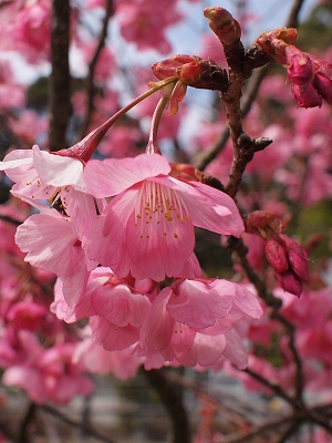 400観音山の桜1503302