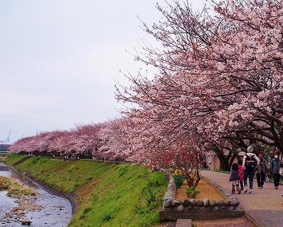 400観音山の桜1503304