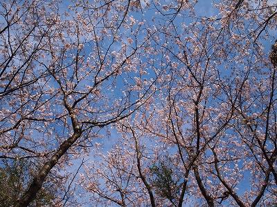 400観音山頂上の桜