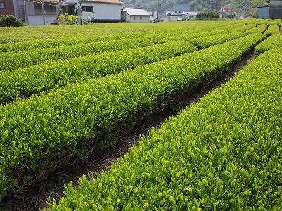 400茶畑