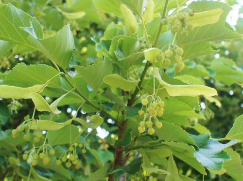 500菩提樹開花150601001