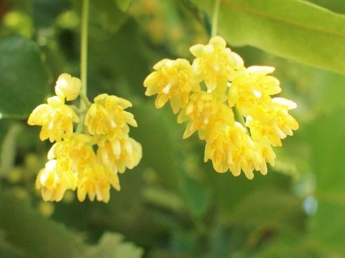 500菩提樹開花150601005