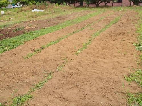 500ジャガイモの収穫150605002