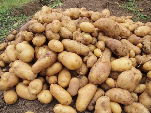 500ジャガイモの収穫150605007
