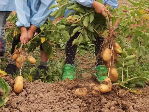 500ジャガイモの収穫150605009