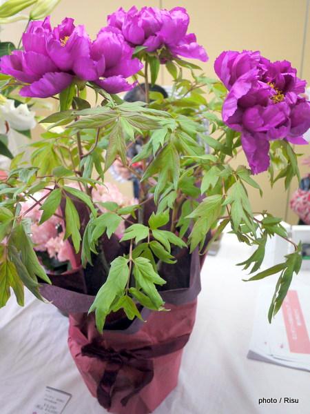 鉢植え「牡丹」島大臣