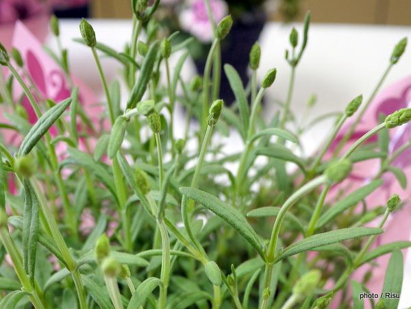 鉢植えラベンダー アロマティコ