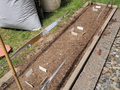 貝豆の種まき
