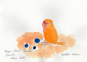 小桜インコのジュディア ビー玉