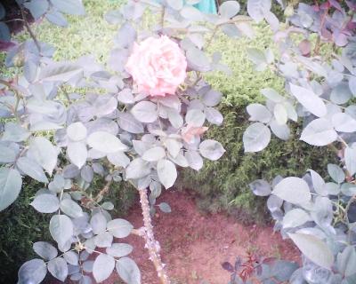 薔薇・スーパースター・旧古河庭園:R2