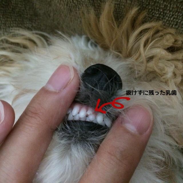 残った乳歯