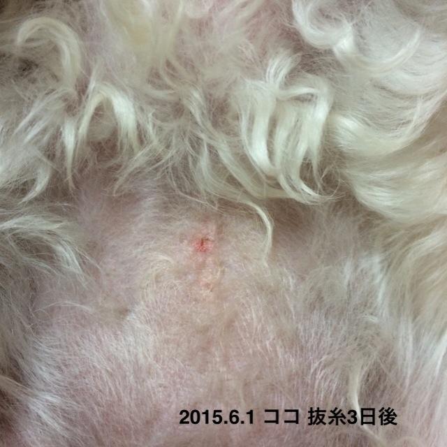 2015.6.1 ココ抜糸3日後