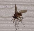 今年初 蚊