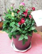3色バラ2鉢