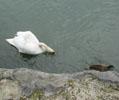 白鳥&鴨4