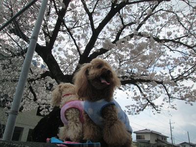 '15 桜とわんこ3