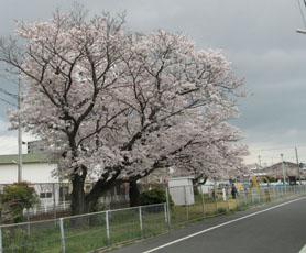 '15 桜とわんこ4