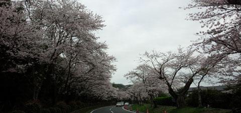 車窓から錦帯橋 桜