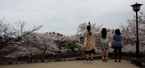 車窓から錦帯橋 桜1